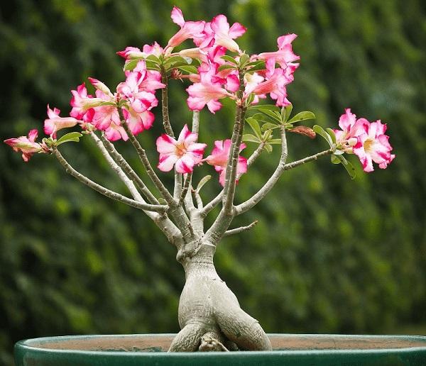Hoa Sứ - Đặc điểm, phân loại, ý nghĩa, cách trồng và chăm sóc tốt nhất - 1