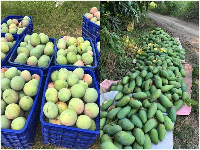 Xoài rớt giá thê thảm, chỉ còn 2.000 đồng/kg, nông dân bất lực chờ thương lái đến mua