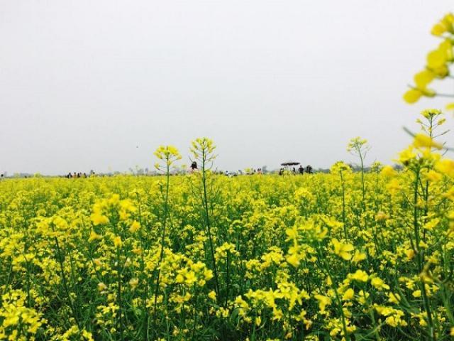 Ý nghĩa hoa Cải Vàng và cách trồng ra hoa đẹp
