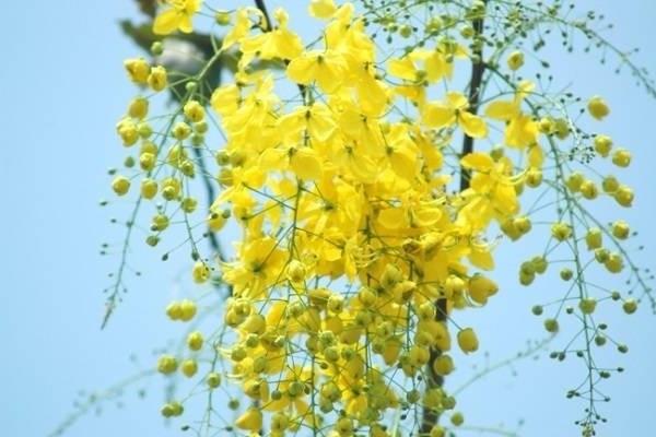 Hoa Bọ Cạp vàng: Đặc điểm, nguồn gốc, ý nghĩa và cách trồng - 3