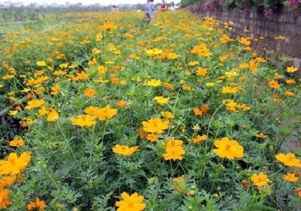 Ý nghĩa hoa Cánh Bướm, đặc điểm và cách trồng hoa cánh bướm nở đẹp - 3