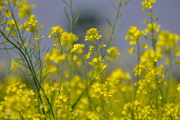 Ý nghĩa hoa Cải Vàng và cách trồng ra hoa đẹp - 1
