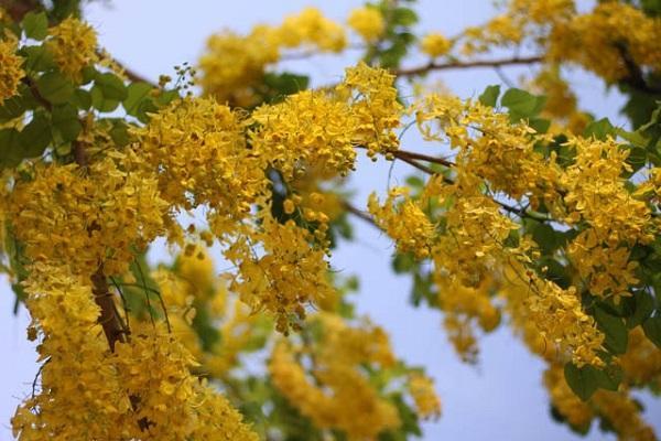 Hoa Bọ Cạp vàng: Đặc điểm, nguồn gốc, ý nghĩa và cách trồng - 1