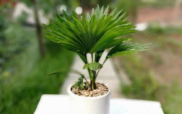 Cây cọ cảnh: Đặc điểm, ý nghĩa phong thủy và cách chăm sóc cho cây - 4