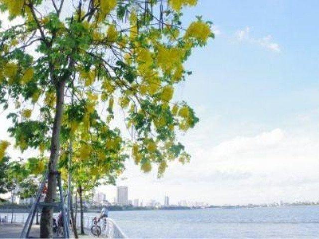 Những ngày cuối tháng 5, Hồ Tây nên thơ với sắc hoa muồng hoàng yến rực rỡ