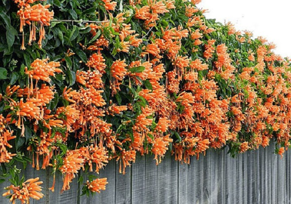 Hoa Chùm Ớt:  Đặc điểm và cách trồng ra hoa đẹp - 3