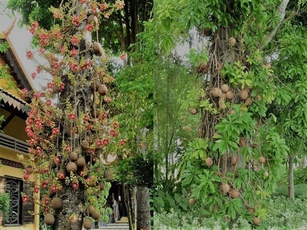 Cây Sala là: Ý nghĩa, tác dụng, cách trồng và chăm sóc - 3