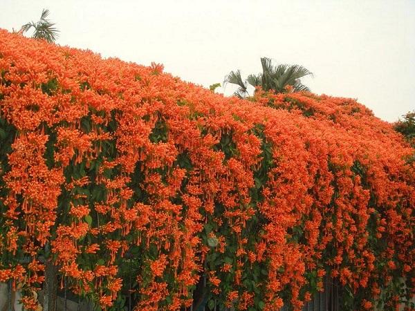 Hoa Chùm Ớt:  Đặc điểm và cách trồng ra hoa đẹp - 4