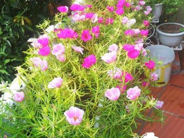 4 loại cây nở hoa đẹp và chịu được nắng, mùa hè nhất định phải trồng ở ban công