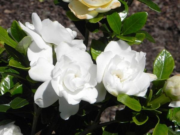 Cây Dành Dành: Đặc điểm, ý nghĩa và cách trồng cây ra hoa đẹp - 4