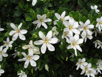 Cây Dành Dành: Đặc điểm, ý nghĩa và cách trồng cây ra hoa đẹp