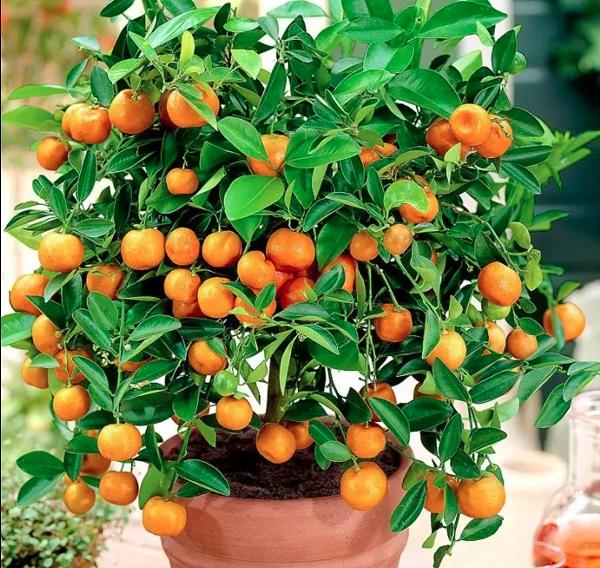 Cây Quất: Đặc điểm, ý nghĩa phong thủy và cách trồng cây quất sau Tết - 1