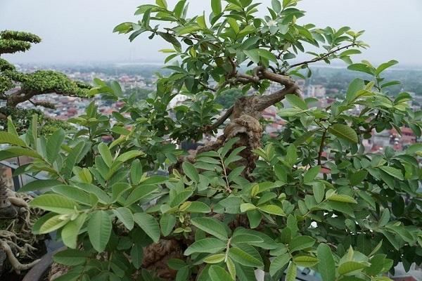 Cây Ổi: Đặc điểm, kỹ thuật trồng và cách chăm cây ra nhiều quả - 4