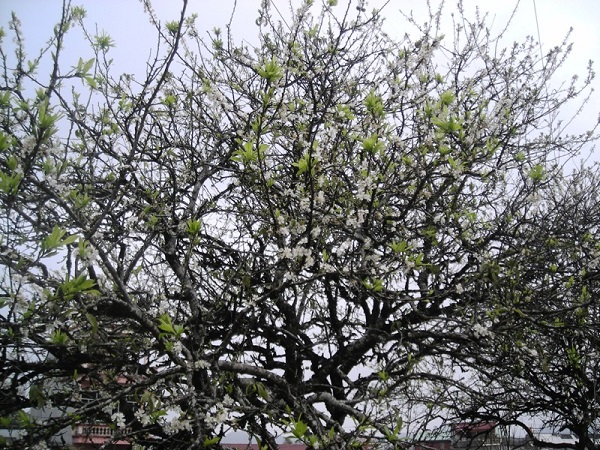 Cây Mơ: Đặc điểm, kỹ thuật trồng và chăm sóc ra nhiều quả - 1