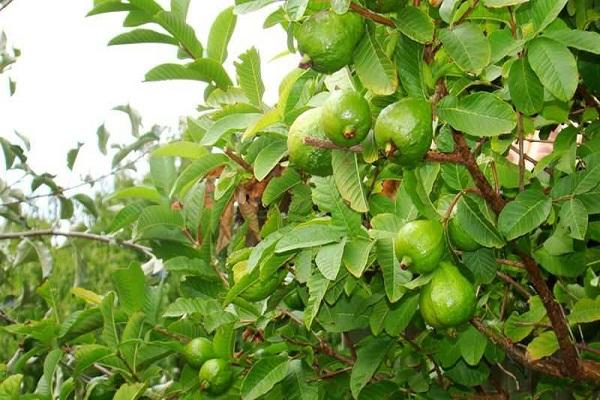 Cây Ổi: Đặc điểm, kỹ thuật trồng và cách chăm cây ra nhiều quả - 3