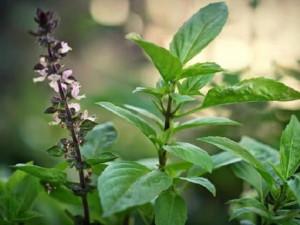 Tác dụng của rau húng cây trong trị bệnh và nấu nướng