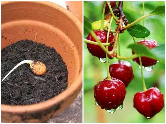 Học cách trồng cherry trong chậu, tưởng chết rũ ai ngờ mỗi ngày thu 300 quả