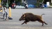"""Sững sờ trước """"trình độ"""" của cảnh sát, cứu hỏa Séc: Mất 8 tiếng để bắt 4 con lợn"""