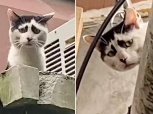 Chú mèo nổi tiếng bởi sở hữu bộ mặt khắc khổ