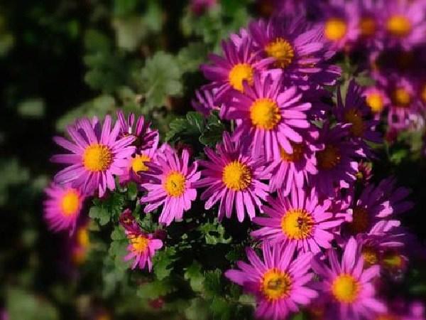 Cách trồng hoa thạch thảo tại nhà, đơn giản vẫn cho hoa tím cả vườn - 4