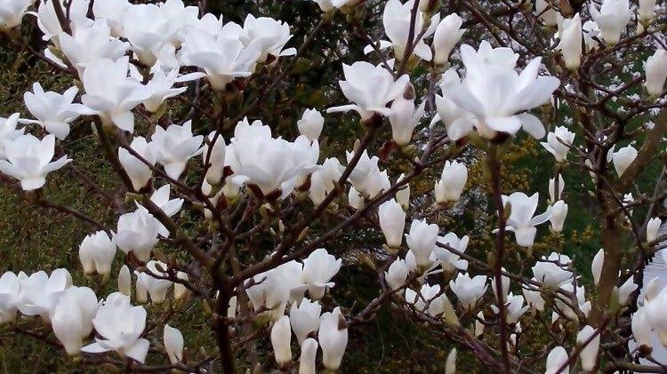 Hoa mộc lan có ý nghĩa gì và kỹ thuật trồng, chăm sóc tốt nhất - 4