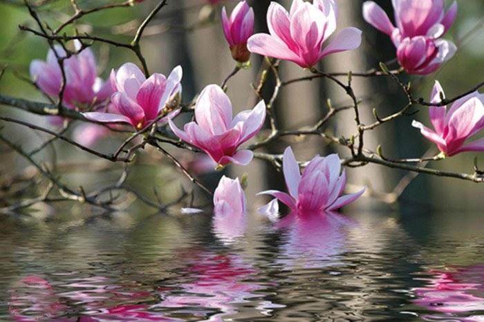 Hoa mộc lan có ý nghĩa gì và kỹ thuật trồng, chăm sóc tốt nhất - 5
