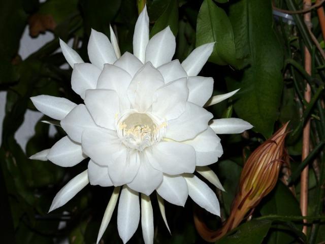 Hoa quỳnh: Ý nghĩa, cách trồng và chăm sóc tốt nhất