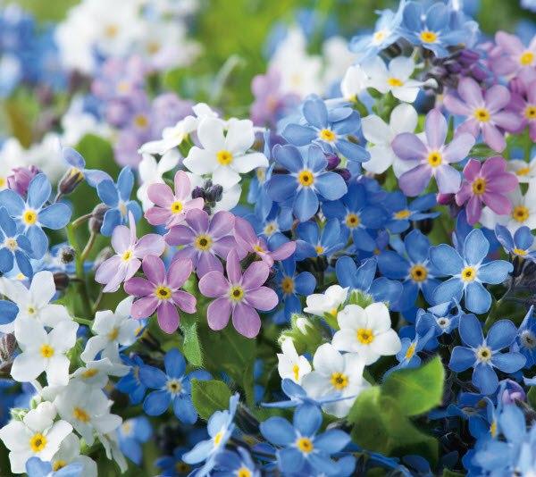 Cách chăm sóc và ý nghĩa hoa lưu ly - loài hoa tượng trưng cho tình yêu chung thủy - 1