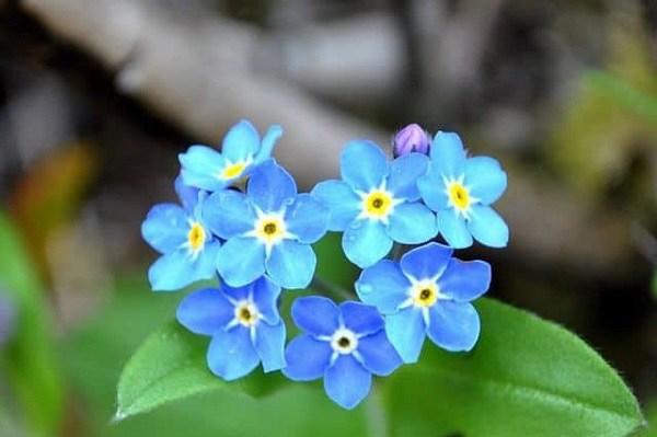 Cách chăm sóc và ý nghĩa hoa lưu ly - loài hoa tượng trưng cho tình yêu chung thủy - 6