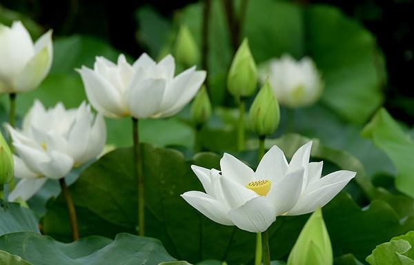 Cách trồng hoa sen trắng đơn giản mà hiệu quả, chắc chắn ra hoa - 3