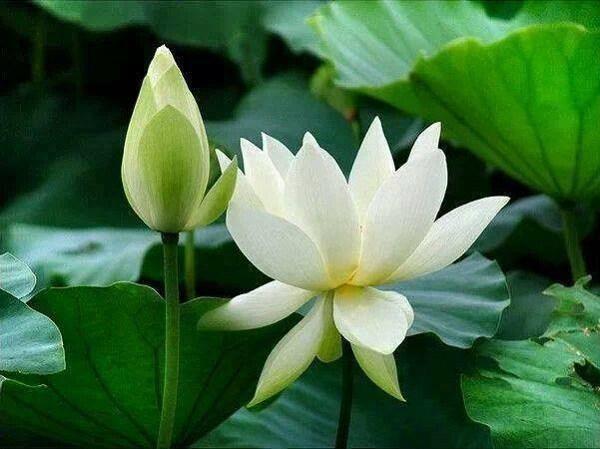 Cách trồng hoa sen trắng đơn giản mà hiệu quả, chắc chắn ra hoa - 6