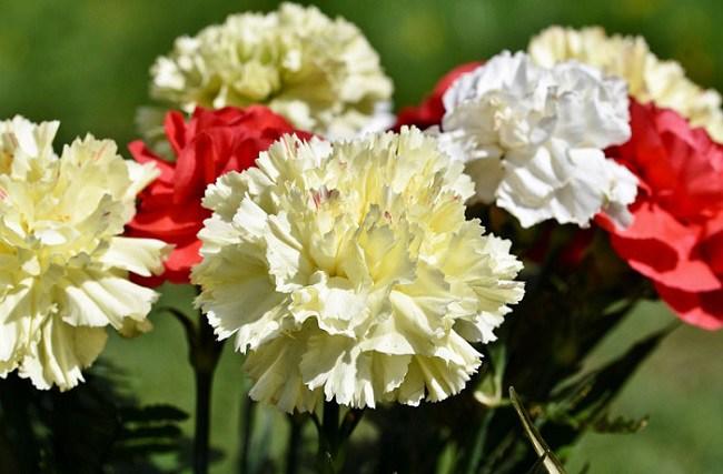 y nghia hoa cam chuong, cach trong va cham soc giup hoa tuoi tot - 6