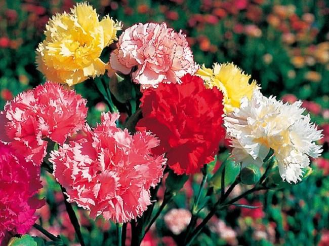 y nghia hoa cam chuong, cach trong va cham soc giup hoa tuoi tot - 1