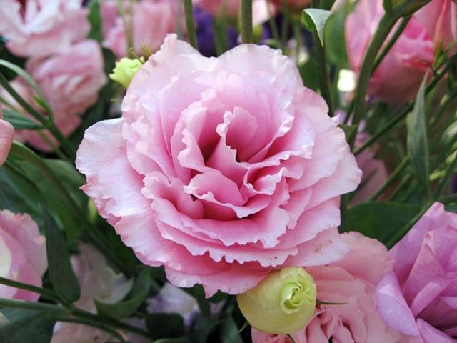 Ý nghĩa hoa cát tường, cách trồng và chăm sóc cho hoa nở rộ