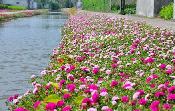 Cách trồng hoa mười giờ và kỹ thuật chăm sóc - 1