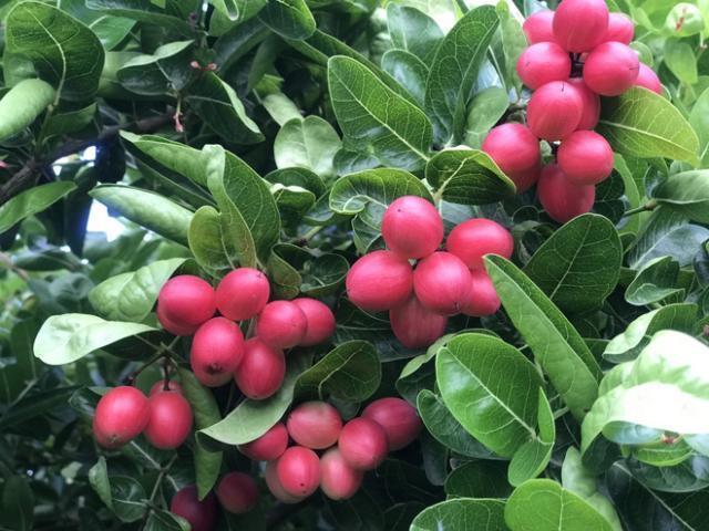 Trái siro lạ mắt mang vị chua mát thơm ngon, có khi giá 100 nghìn đồng/kg không có để bán