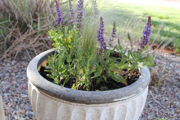 Ý nghĩa hoa Lavender và cách trồng, chăm sóc tại nhà - 5