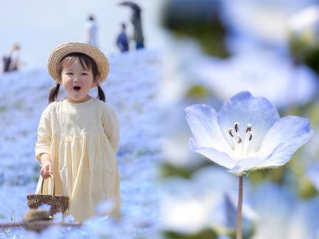 4.5 triệu bông hoa màu xanh đồng loạt nở bừng, người Nhật đua nhau đi chụp ảnh
