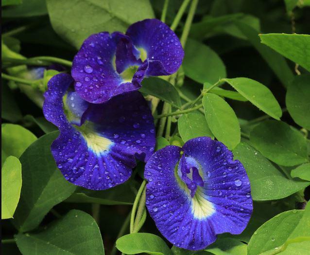 11 tác dụng của hoa đậu biếc và cách sử dụng hoa đậu biếc - 1