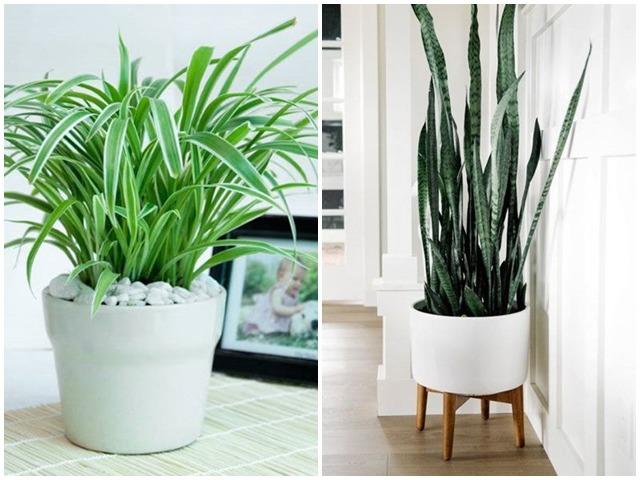 Những loại cây lọc không khí cực đỉnh, nhà nào cũng nên có ít nhất 1 cây trong nhà