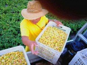 Loại quả mang tên thiếu nữ, ở Việt Nam là quả dại, nước ngoài bán trăm nghìn/kg