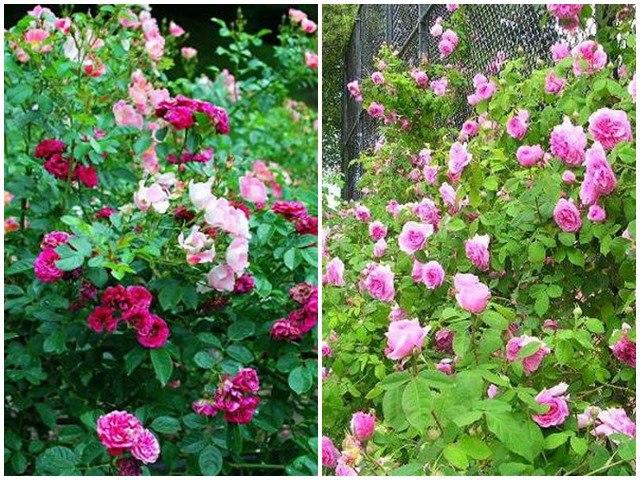 Cách trồng hoa hồng dại làm hàng rào tuyệt đẹp, không cần chăm nhiều cây vẫn sống khỏe