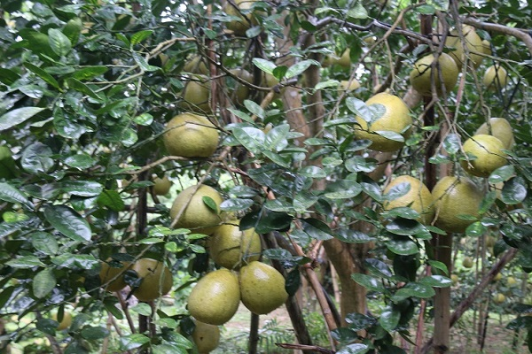 Cây Bưởi: Đặc điểm, công dụng, cách trồng và chăm sóc cây ra nhiều quả - 5