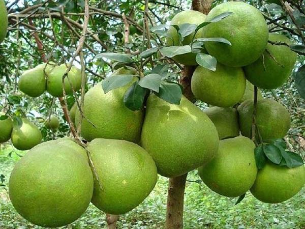Cây Bưởi: Đặc điểm, công dụng, cách trồng và chăm sóc cây ra nhiều quả - 1