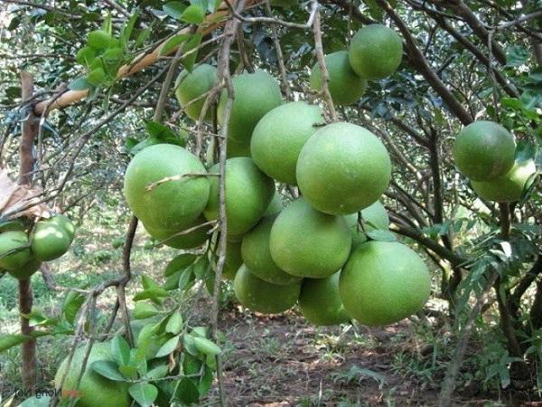 Cây Bưởi: Đặc điểm, công dụng, cách trồng và chăm sóc cây ra nhiều quả - 4