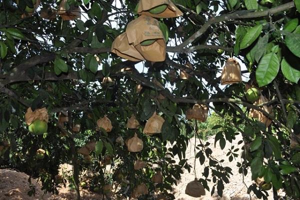 Cây Bưởi: Đặc điểm, công dụng, cách trồng và chăm sóc cây ra nhiều quả - 7