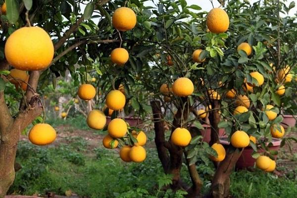 Cây Bưởi: Đặc điểm, công dụng, cách trồng và chăm sóc cây ra nhiều quả - 6