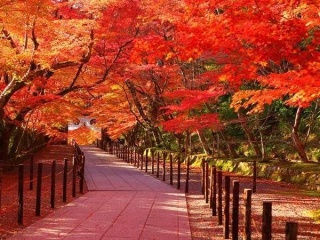 Cây Phong lá đỏ: Đặc điểm, ý nghĩa và cách trồng cây khỏe, đẹp