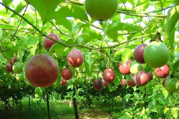 Cây chanh leo: Kỹ thuật trồng và chăm sóc cây khỏe ra nhiều quả - 1