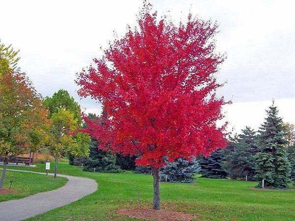 Cây Phong lá đỏ: Đặc điểm, ý nghĩa và cách trồng cây khỏe, đẹp - 1